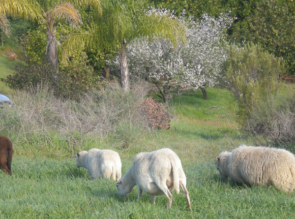 Lamb grazing at