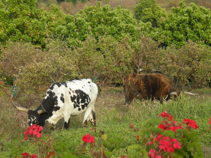 Cattle grazing freely at