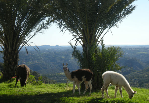 Our pet Llamas enjoying another nice day at