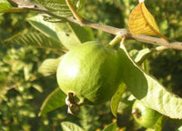 Large selection of Tropical Guava